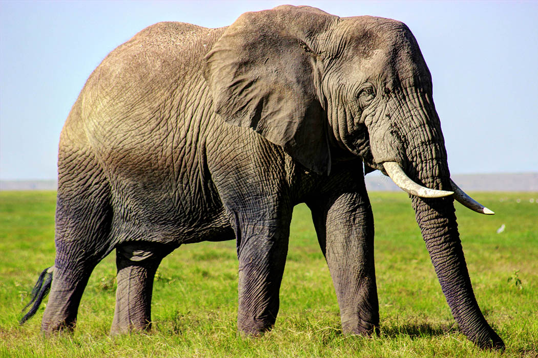 Elephants of Amboseli male1