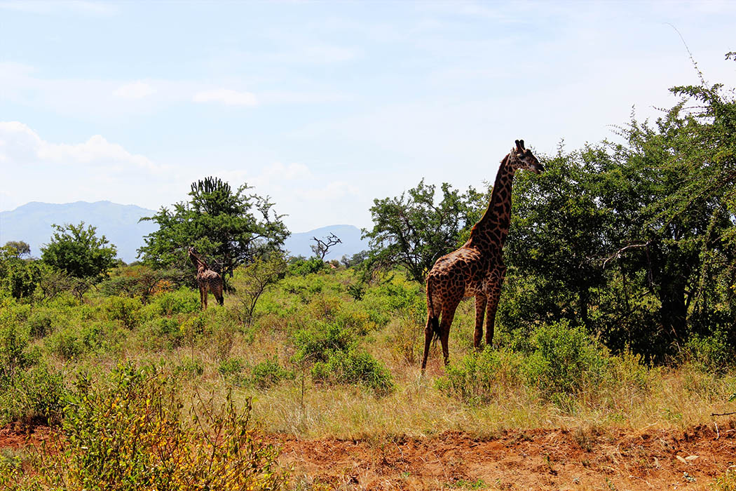 Tsavo West National Park_Giraffe