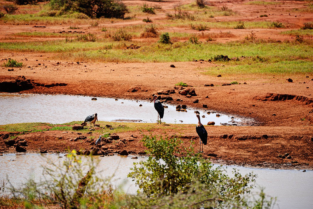 Tsavo West National Park_Vulture