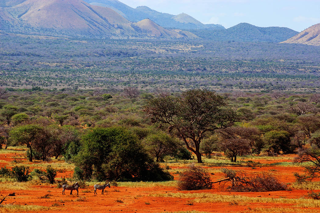Tsavo West National Park_Zebra