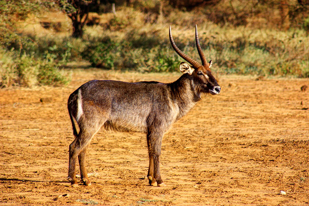Tsavo West National park_waterbuck