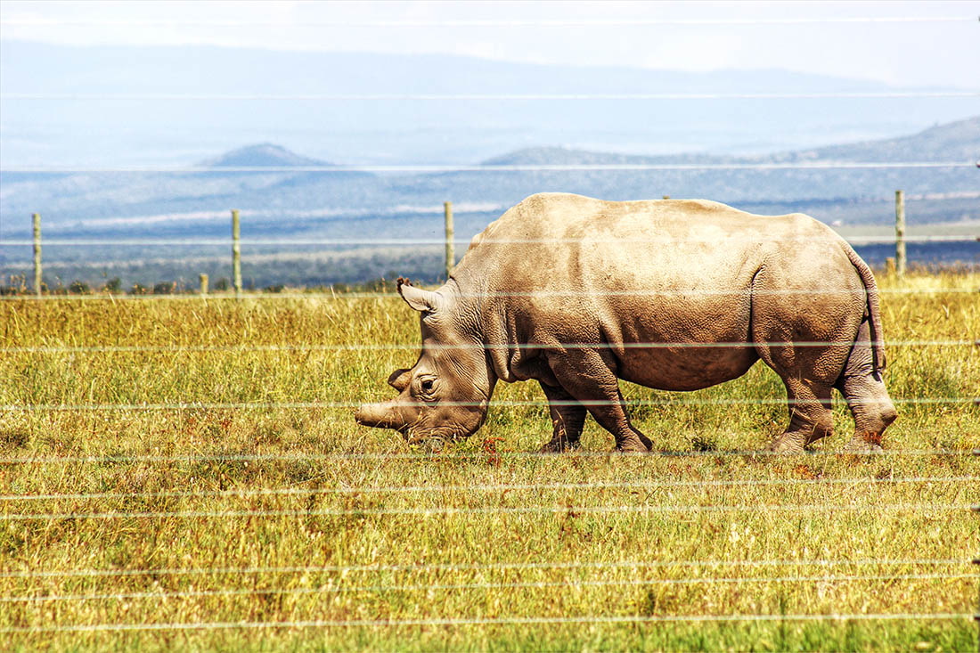 Ol Pejeta Conservancy_white rhino3
