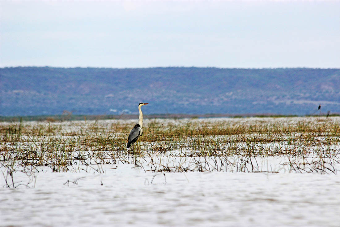 Lake Turkana_Grey heron