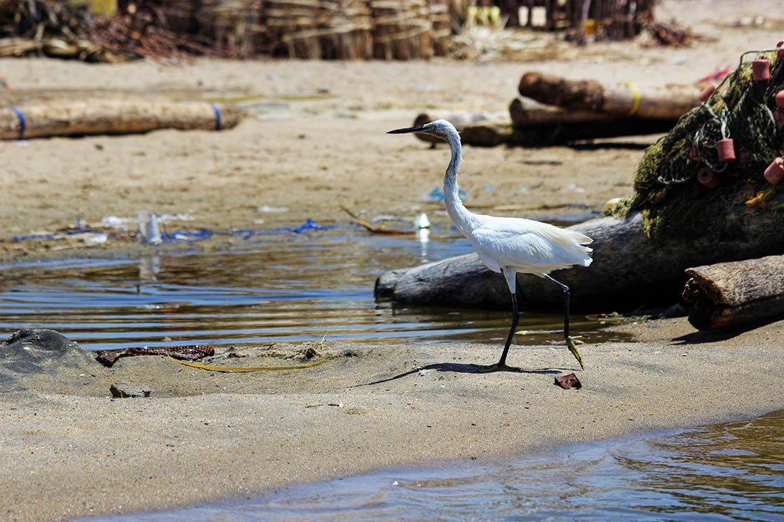 Lake Turkana_Little egret