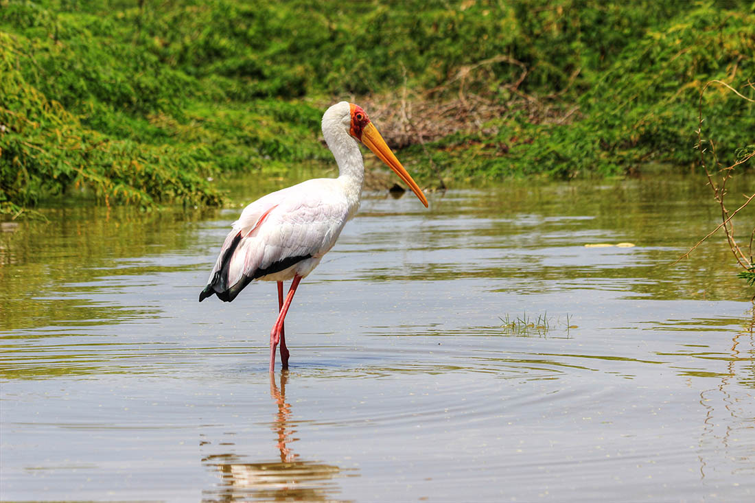Lake Turkana_Yellow-billed stork