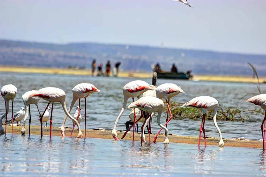 Lake Turkana_greater flamingo2