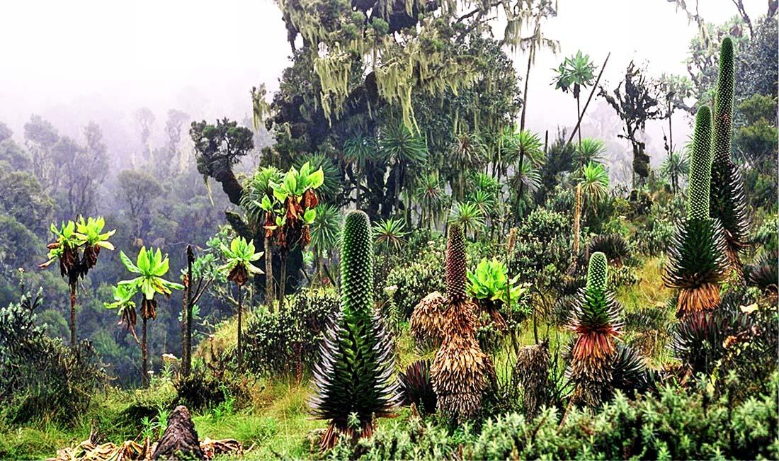 Rwenzori Mountains_giant lobelias