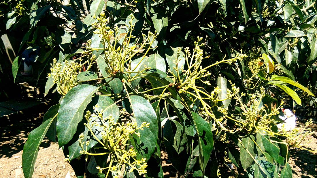 TECNO Camon C5 Review_Avocado flowering