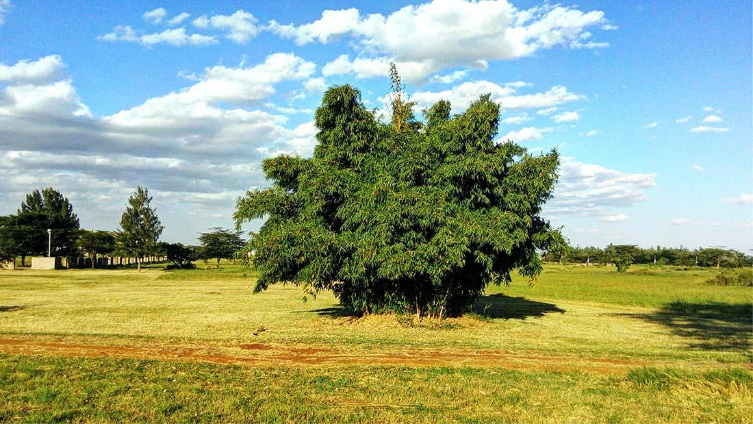 TECNO Camon C5 Review_Uhuru gardens_bamboo