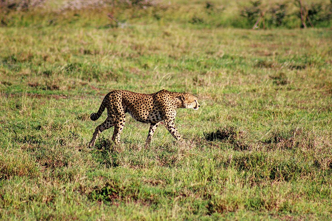 Ol Pejeta Conservancy_cheetah1