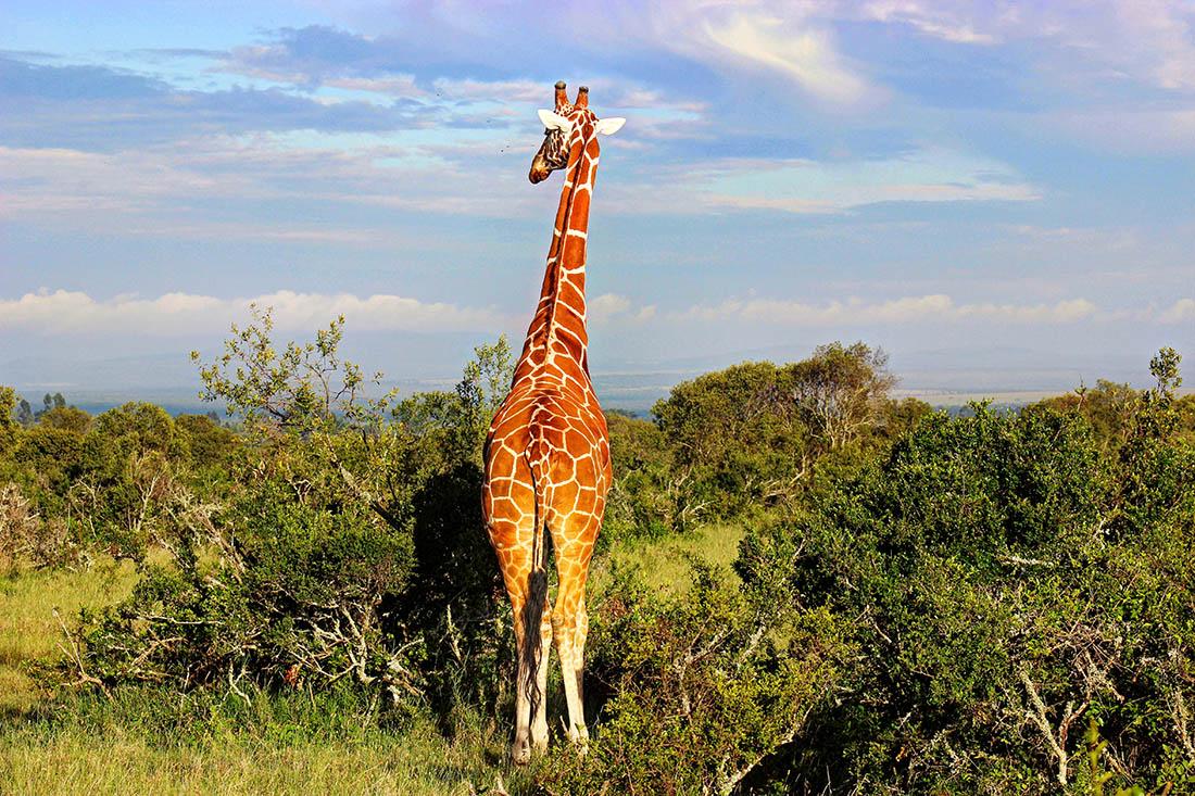 Ol Pejeta Conservancy_giraffe