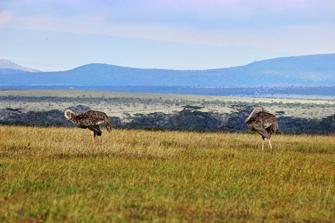 Ol Pejeta Conservancy_ostriches