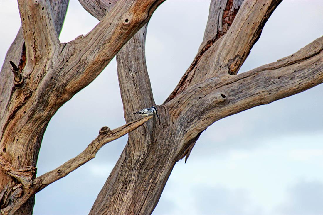 Ol Pejeta Conservancy_pied kingfisher