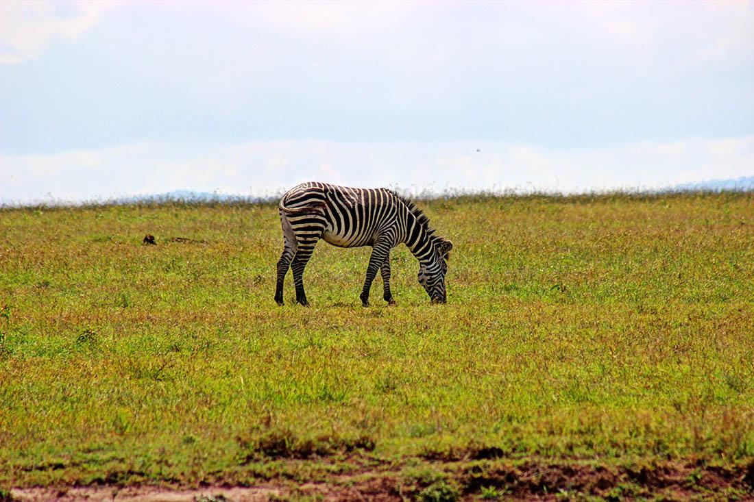 Ol Pejeta Conservancy_zebra