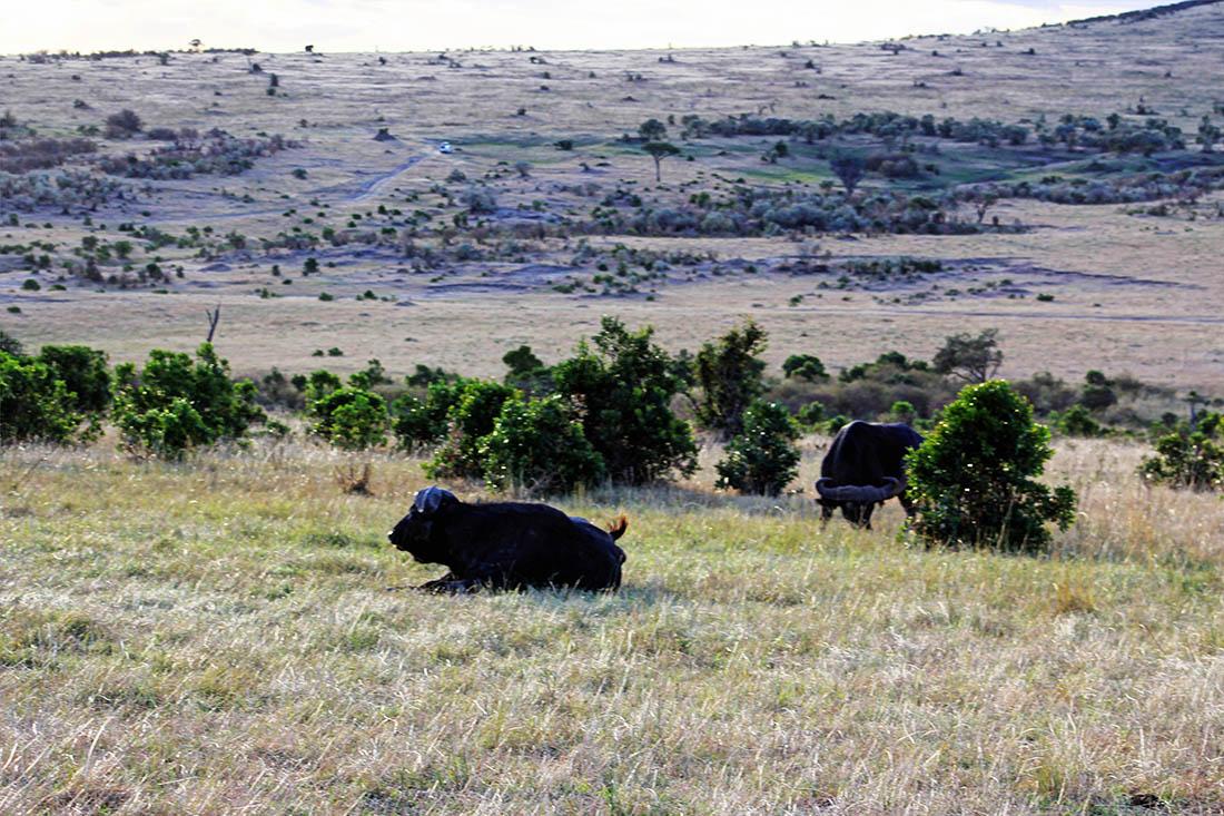 Maasai Mara_Lone buffalo