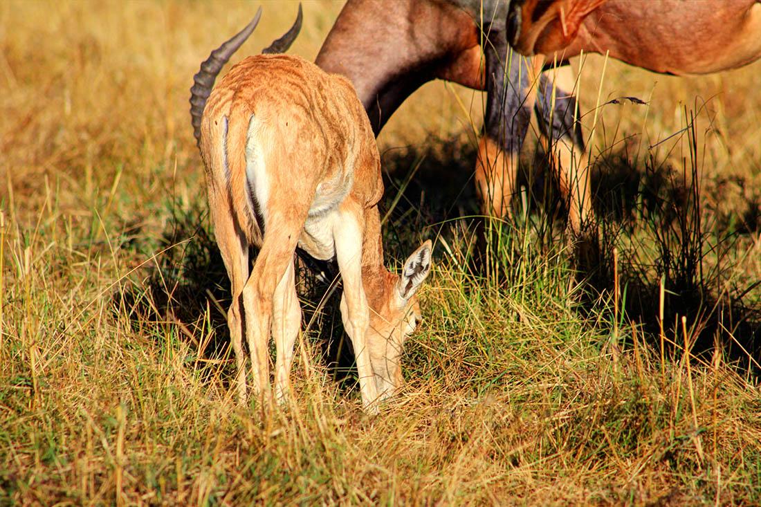 Maasai Mara_Topi calf