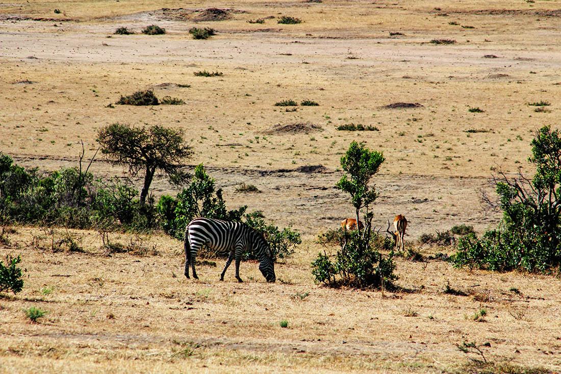 Maasai Mara_zebra grazing