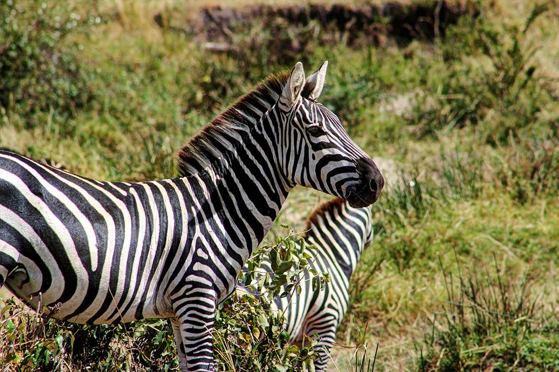 Maasai Mara_zebra