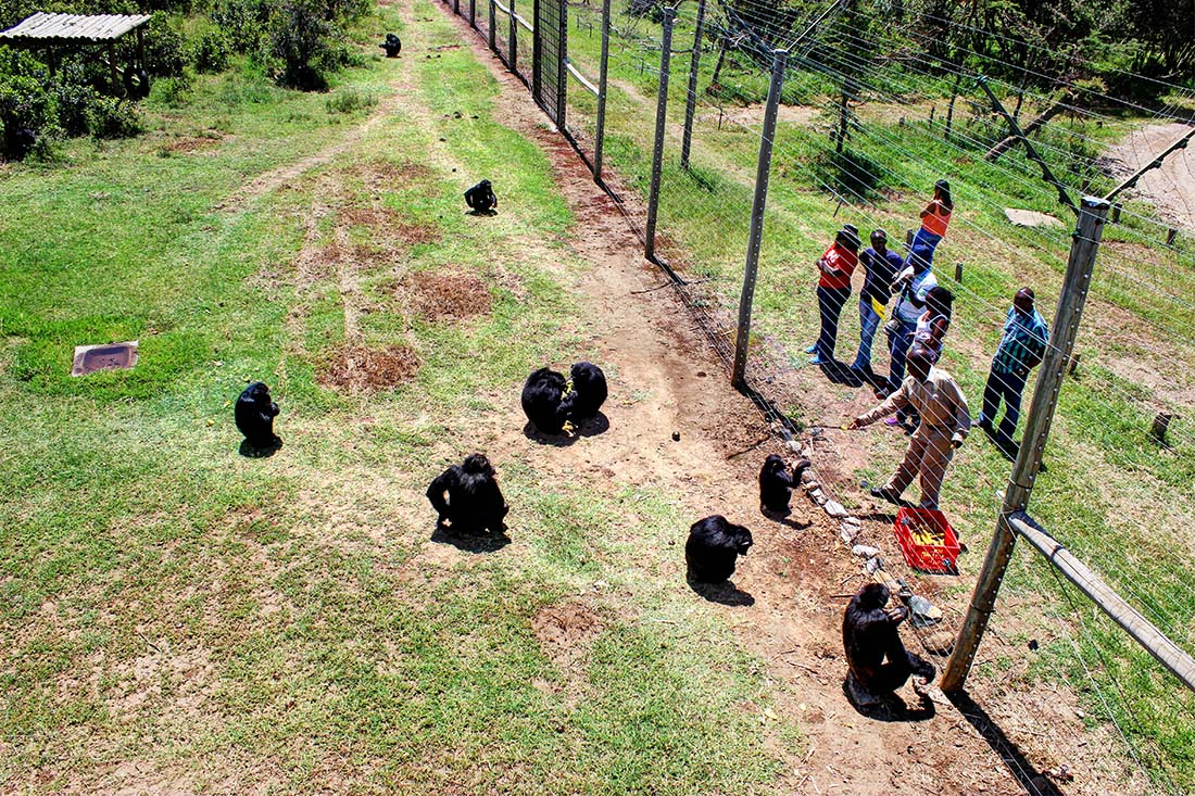 Sweetwaters Chimpanzee Sanctuary_feeding 3