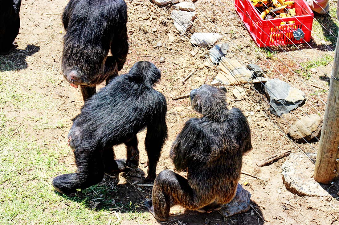 Sweetwaters Chimpanzee Sanctuary_feeding