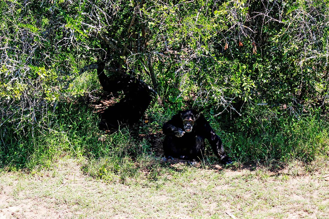 Sweetwaters Chimpanzee Sanctuary_in the bush