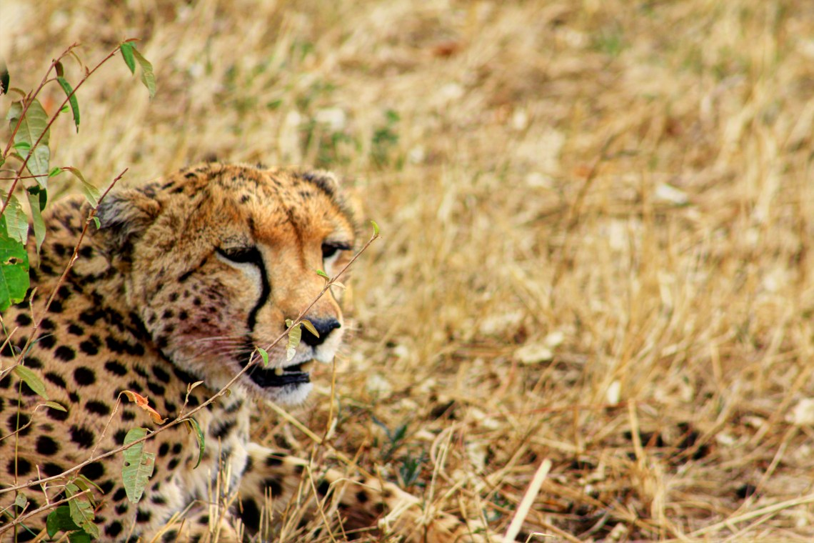 Maasai Mara_Cheetah