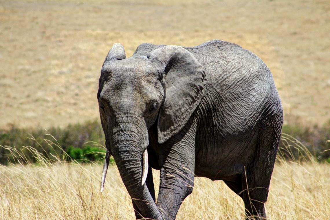 Maasai Mara_Elephant2