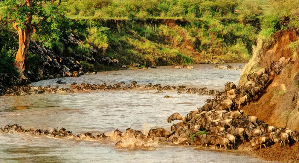Maasai Mara_Wildebeest migration