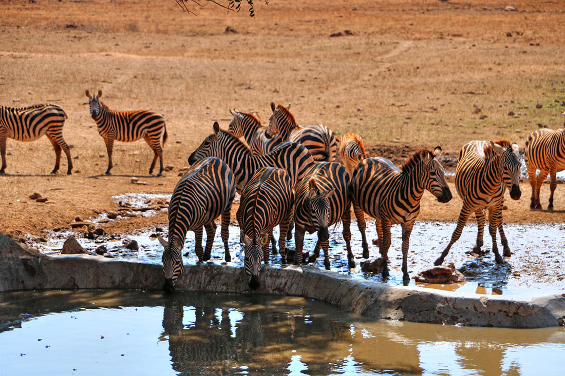 sarova-taita-hills-game-lodge_zebras