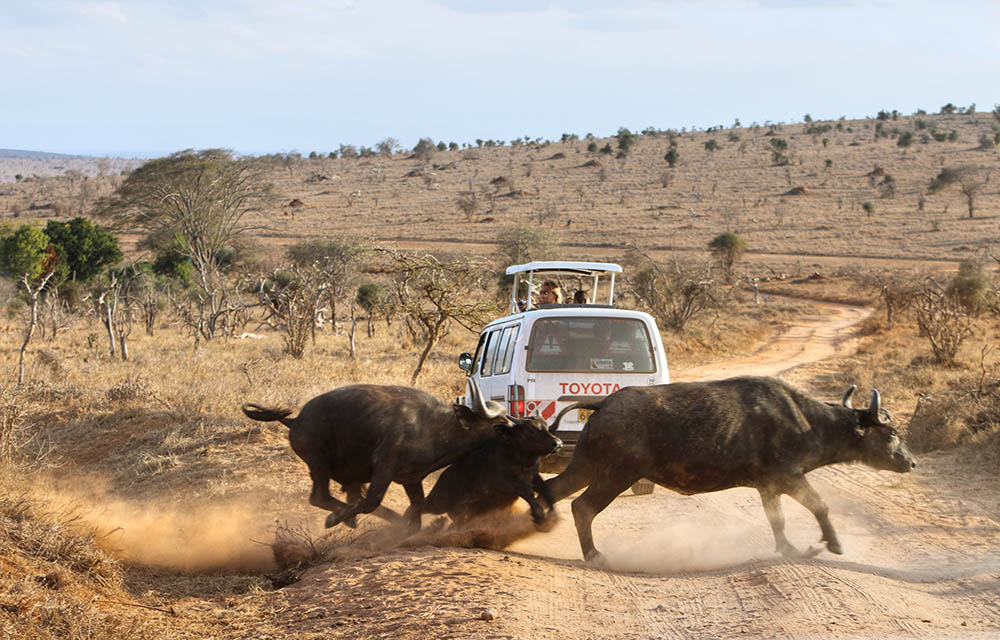 taita-hills-game-reserve_buffalos-crossing