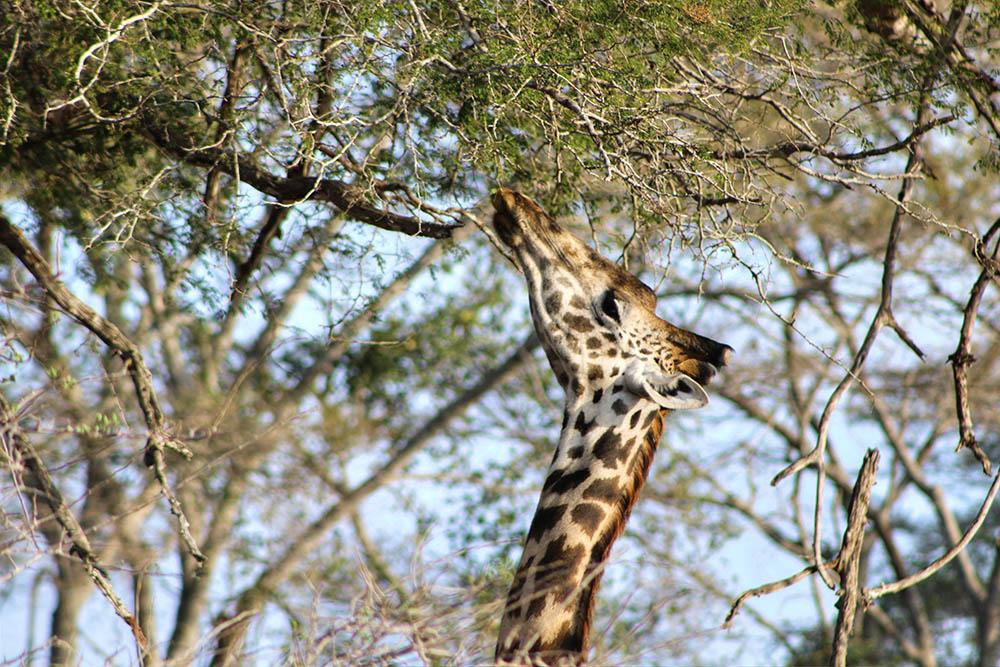 taita-hills-game-reserve_giraffe-feeding