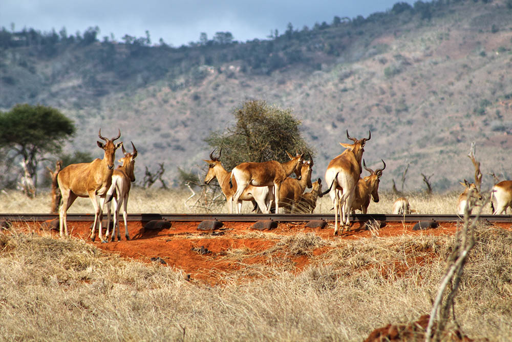 taita-hills-game-reserve_hartebeest-on-railway