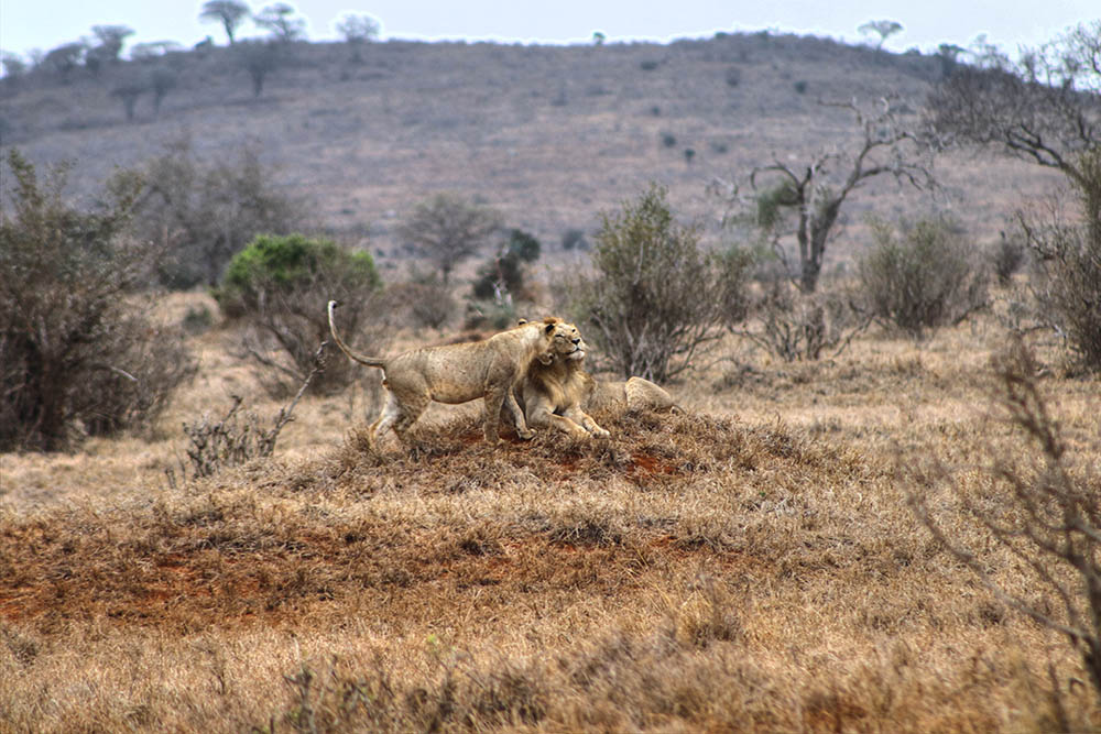 taita-hills-game-reserve_lion-and-lioness1