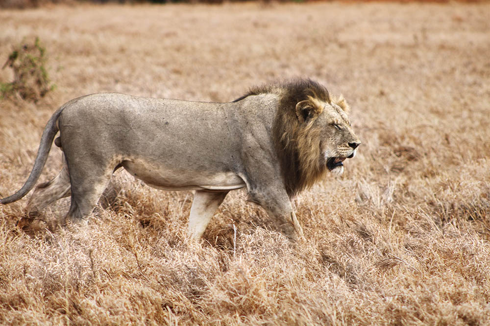taita-hills-game-reserve_lion