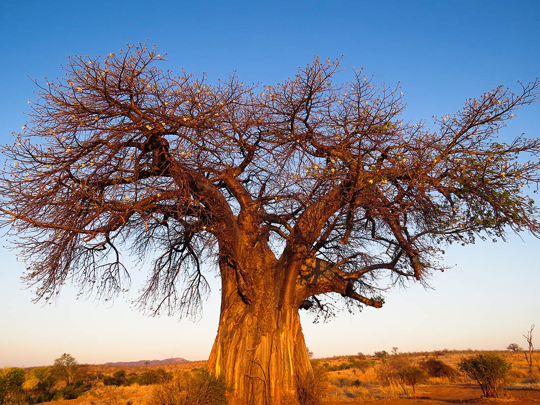 The Baobab – an iconic African Tree – Safari254