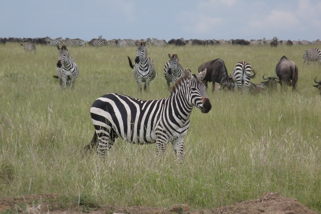 5 Day Lodge Safari Ngorongoro Serengeti Manyara Tarangire
