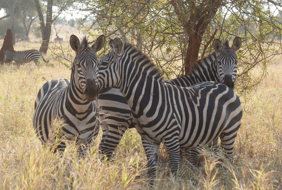4 Day Lodge Safari to Tarangire,Manyara and Ngorongoro