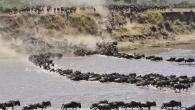 the Serengeti Wildbest migration