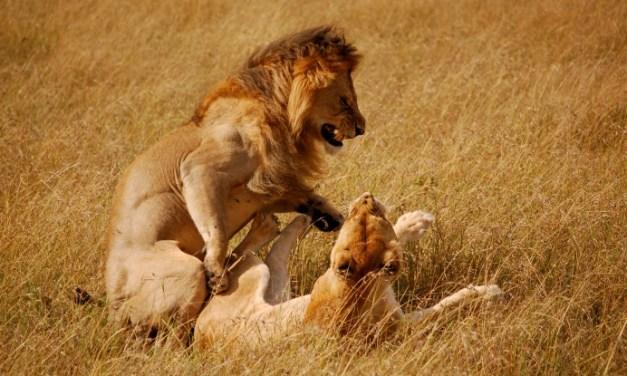 7 Days Lodge Safari Maasai Mara Nakuru Amboseli