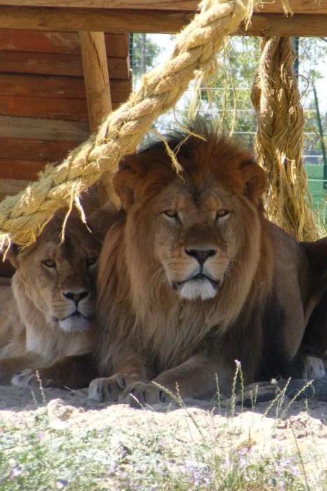 Leone - Safari Ravenna