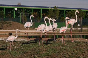 Fenicottero rosso - Safari Ravenna