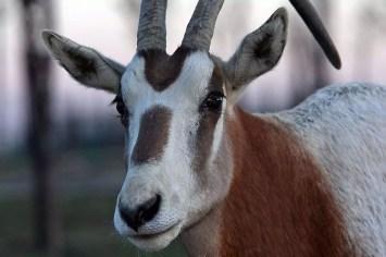 Orice dalle corna a scimitarra - Safari Ravenna