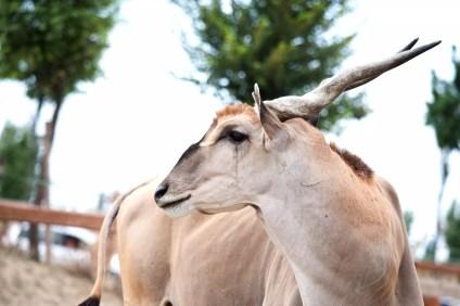antilope alcina (8)
