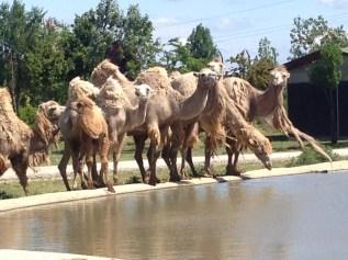 cammello 1