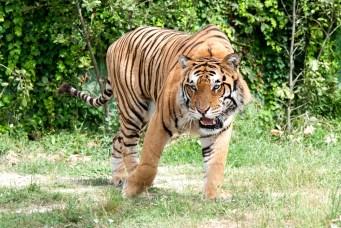 tigre (11)