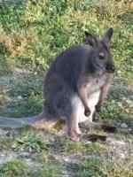 canguri (4)