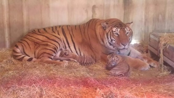 mamma tigrotti