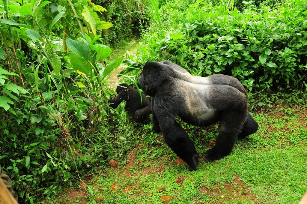 3 days Uganda Gorilla Safari Tour Bwindi Impenetrable
