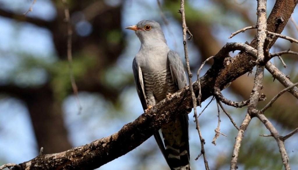 7 days Uganda Birding Safari