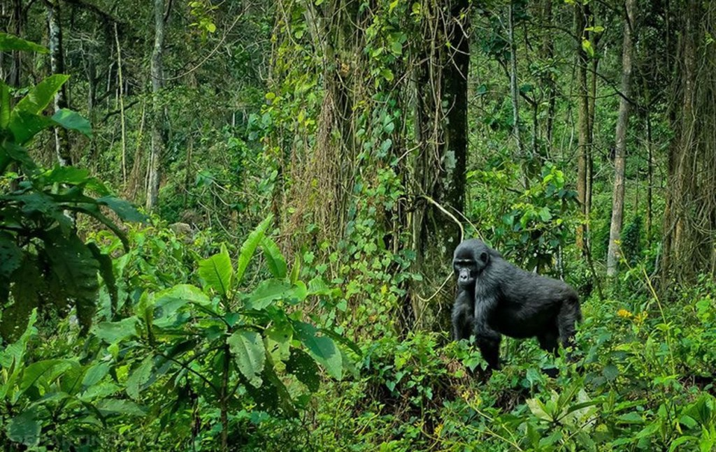 4 days Uganda Gorilla Safari, Wildlife Chimp trekking